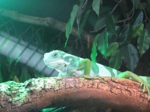 Iguana Manchester Museum