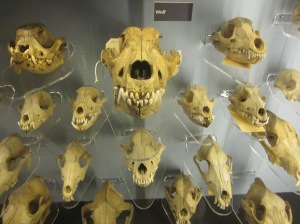 Wolf and dog skulls Manchester Museum
