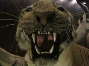 Tiger at Manchester Museum