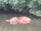 Tiger in Lancaster Canal Shocker