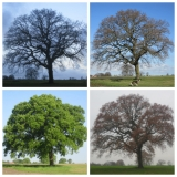 Ashton Park Oak Tree Through the Seasons